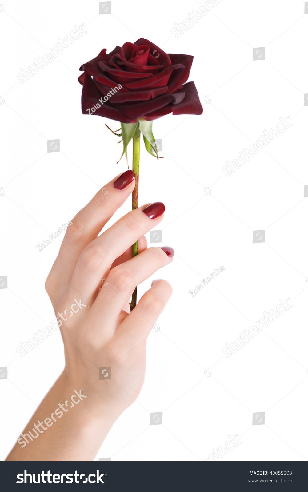 Beautiful woman hand with red manicure holding red rose for Hand holding a rose drawing