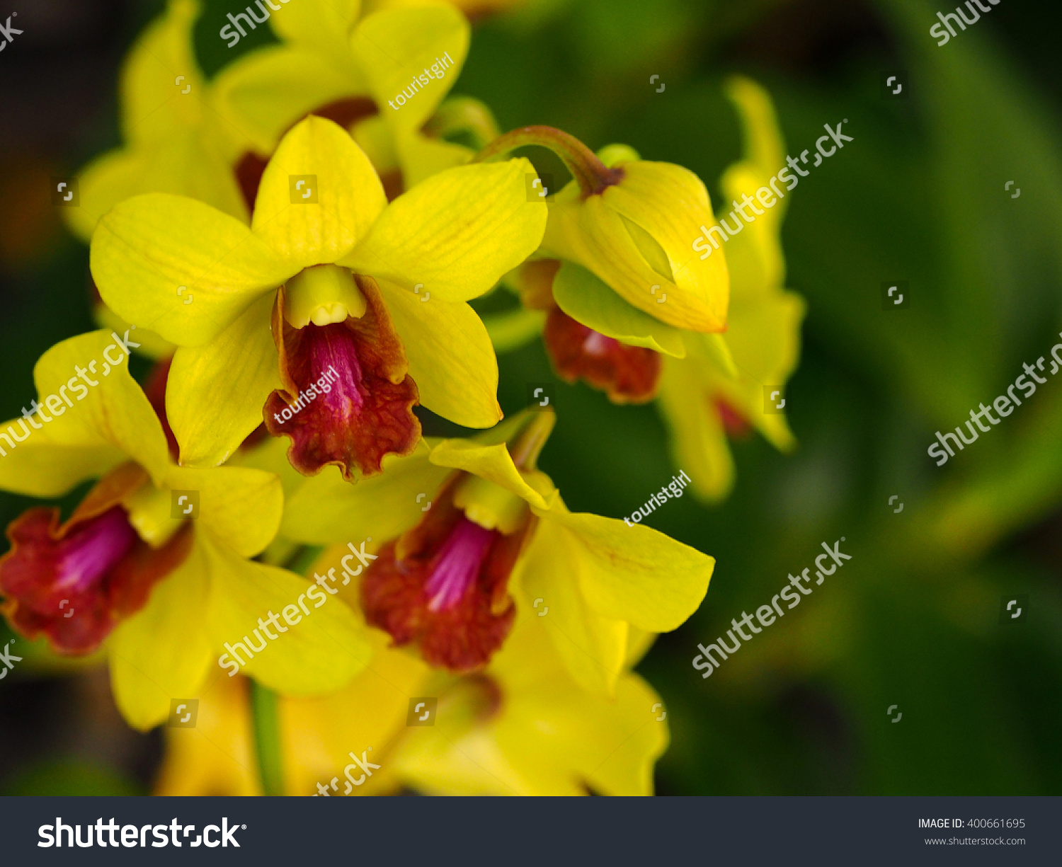 Closeup Dendrobium Orchids Small Flowers Yellow Stock Photo Edit