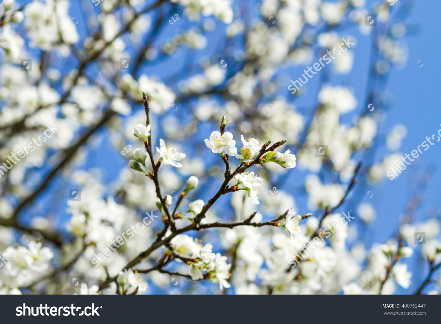 Branch Of A Blossoming Tree With Beautiful White Flowers Ez Canvas