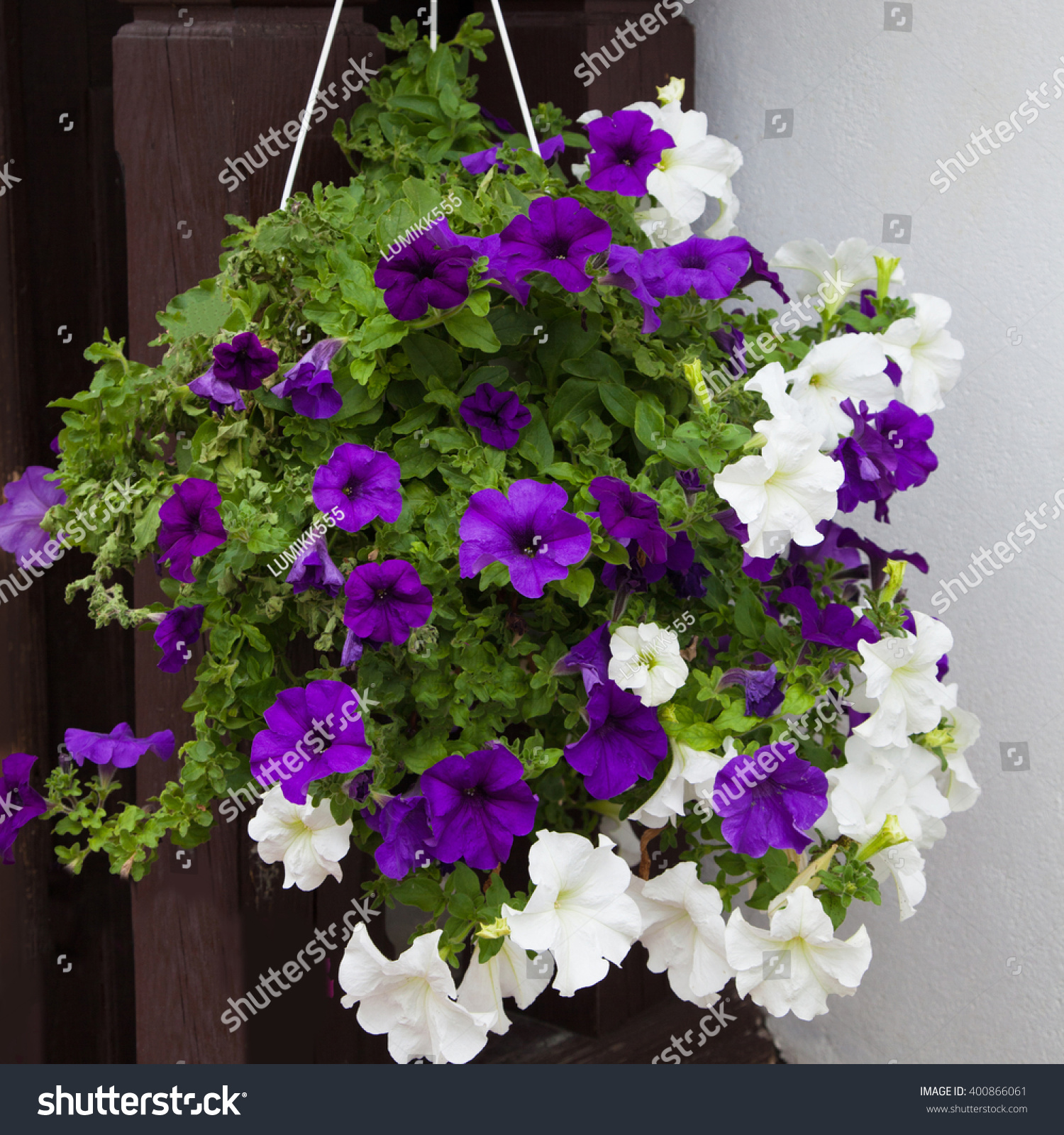 how to grow petunias in hanging baskets