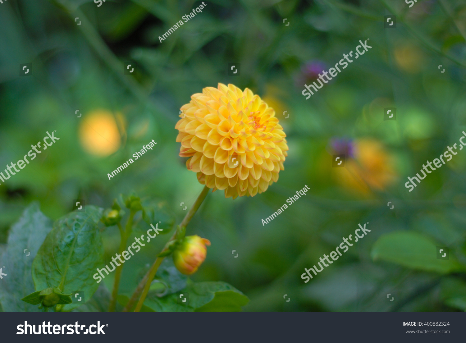 Small Ball Dahlia Yellow Flower Stock Photo Edit Now 400882324