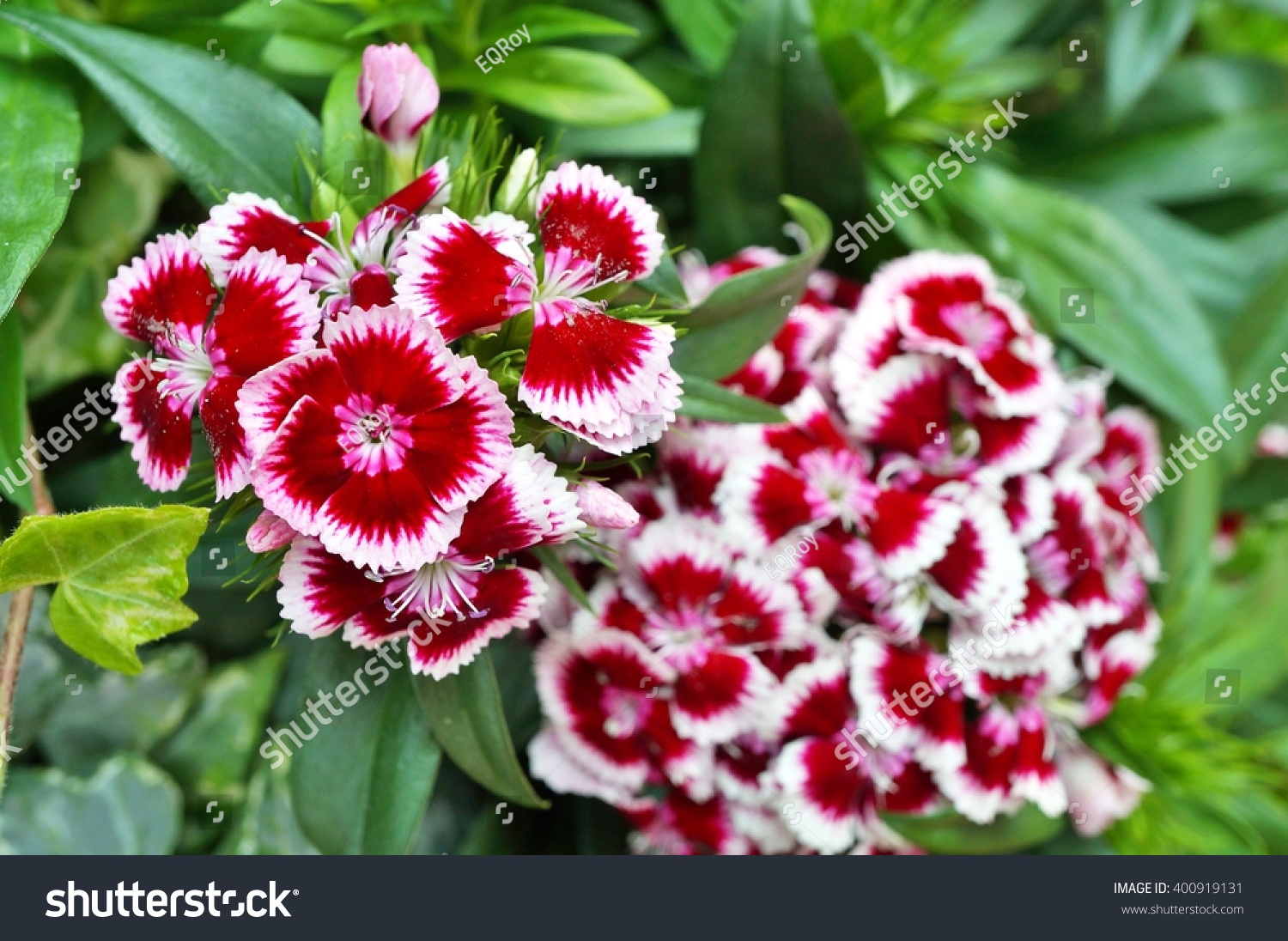 Pink White Sweet William Dianthus Flowers Stock Photo Royalty Free
