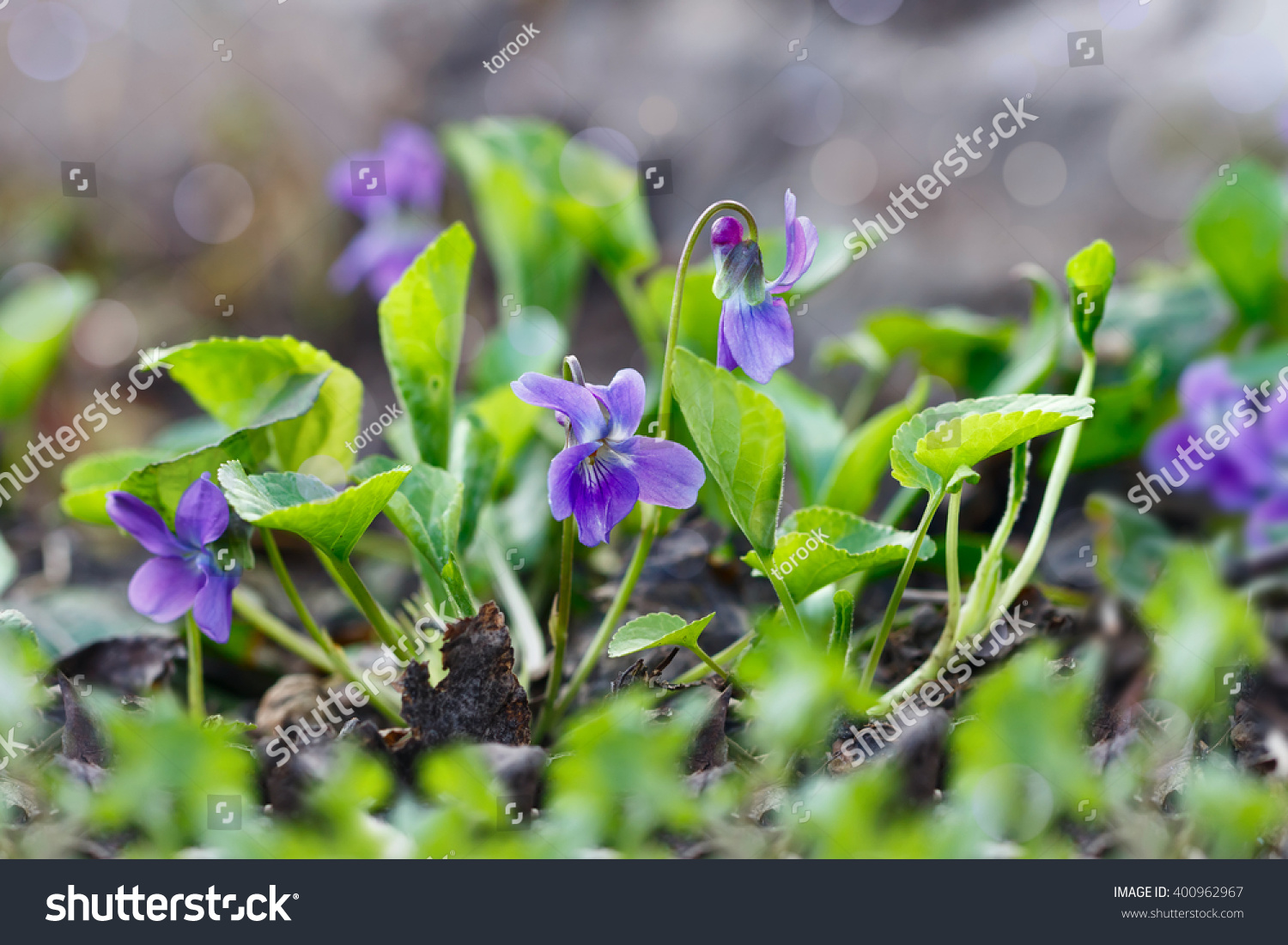 Closeup Purple Flowers Scientific Name Viola Stock Photo Edit Now