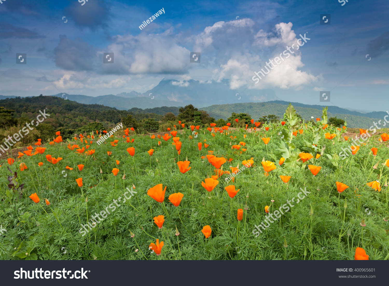 Field Bright Orange Poppy Flowers Mountain Stock Photo Download Now