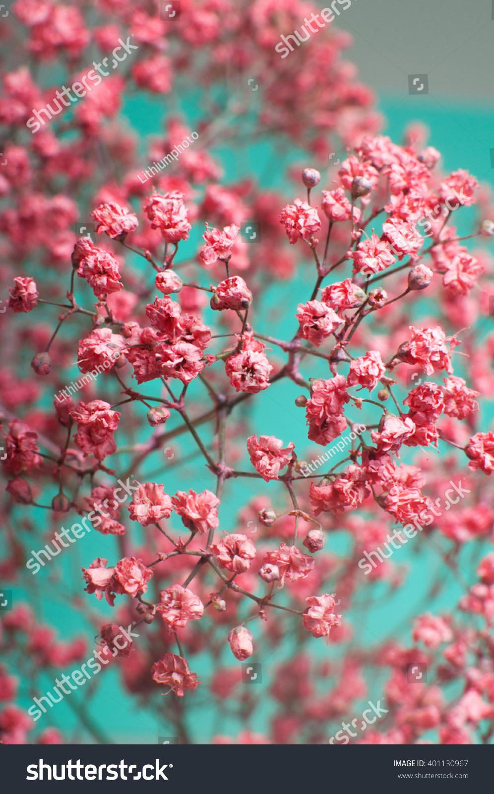 Closeup Dry Pink Babys Breath Flowers Stock Photo Edit Now