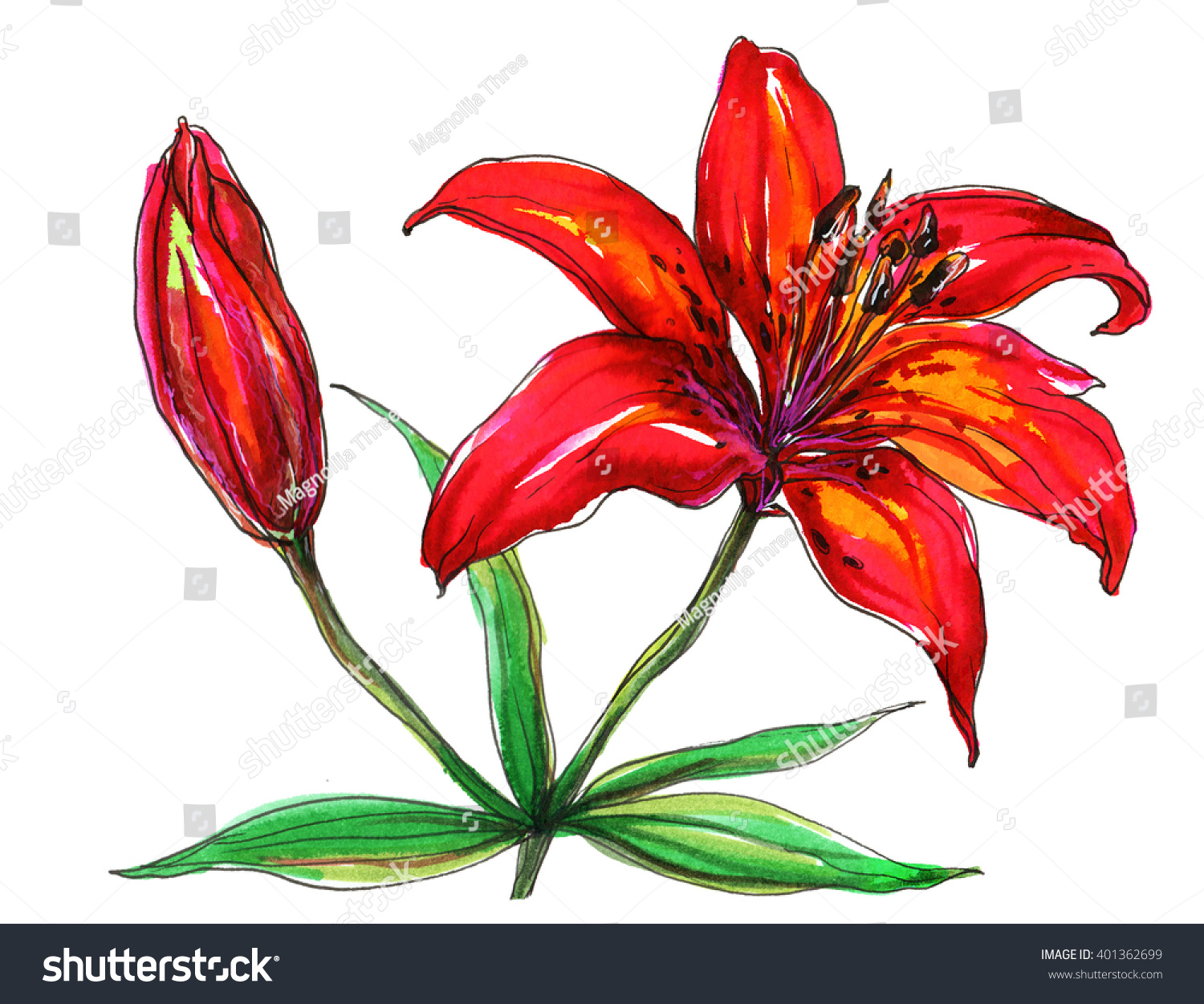 Red tiger lily flower blossom hand stock illustration 401362699 red tiger lily flower blossom hand drawn watercolor tropical flowers isolated on white background izmirmasajfo Images