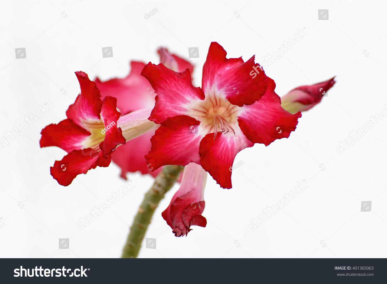 Desert Rose Brightcolored Flowers On White Stock Photo 401365063 ...