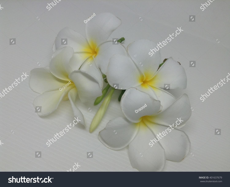 Tropical White Flowers Plumeria Rubra Templetrees Stock Photo