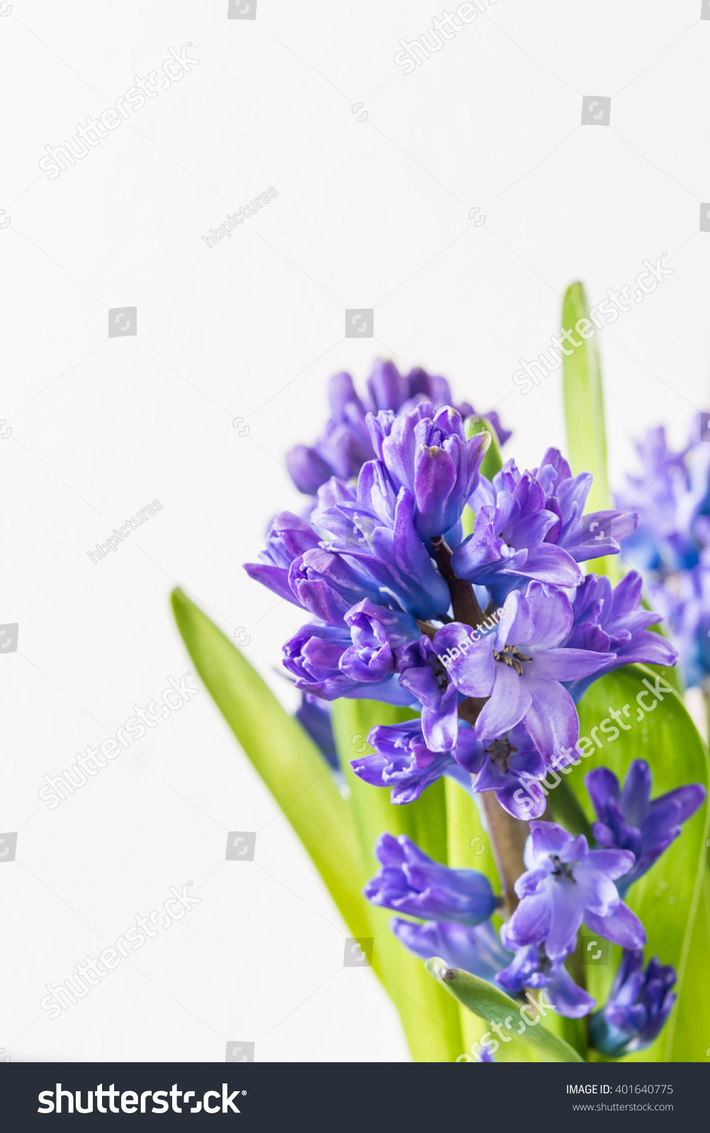 Royalty Free Asparagaceae Family Blooming Hyacinths 401640775