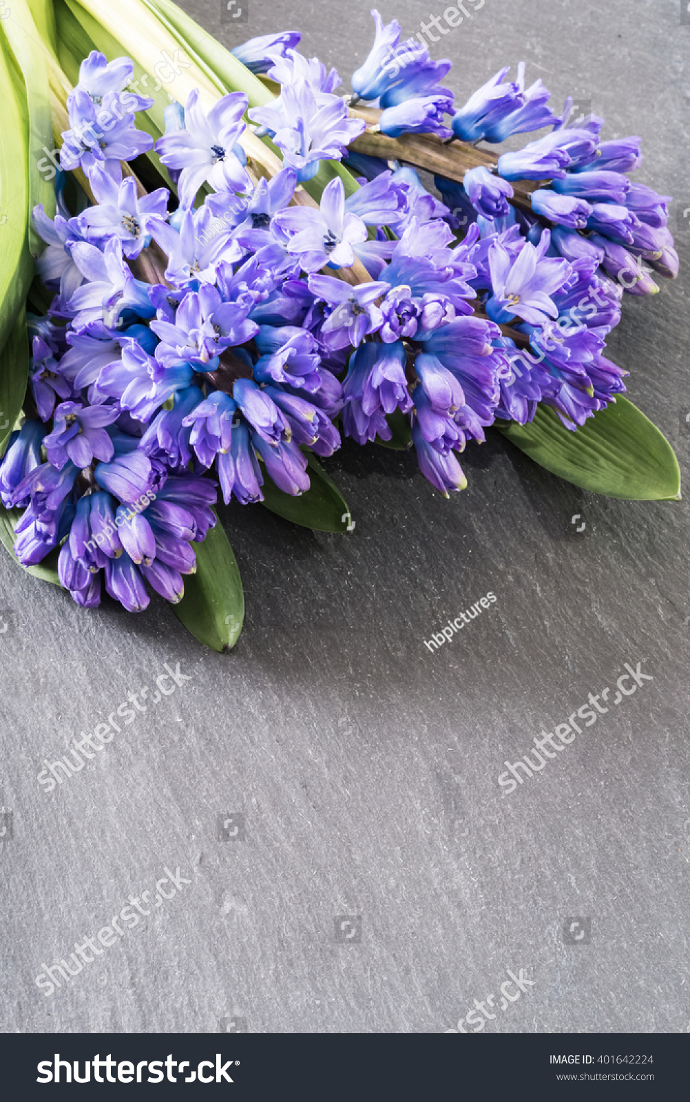 Asparagaceae Family Blooming Hyacinths In April Blue Flowers With