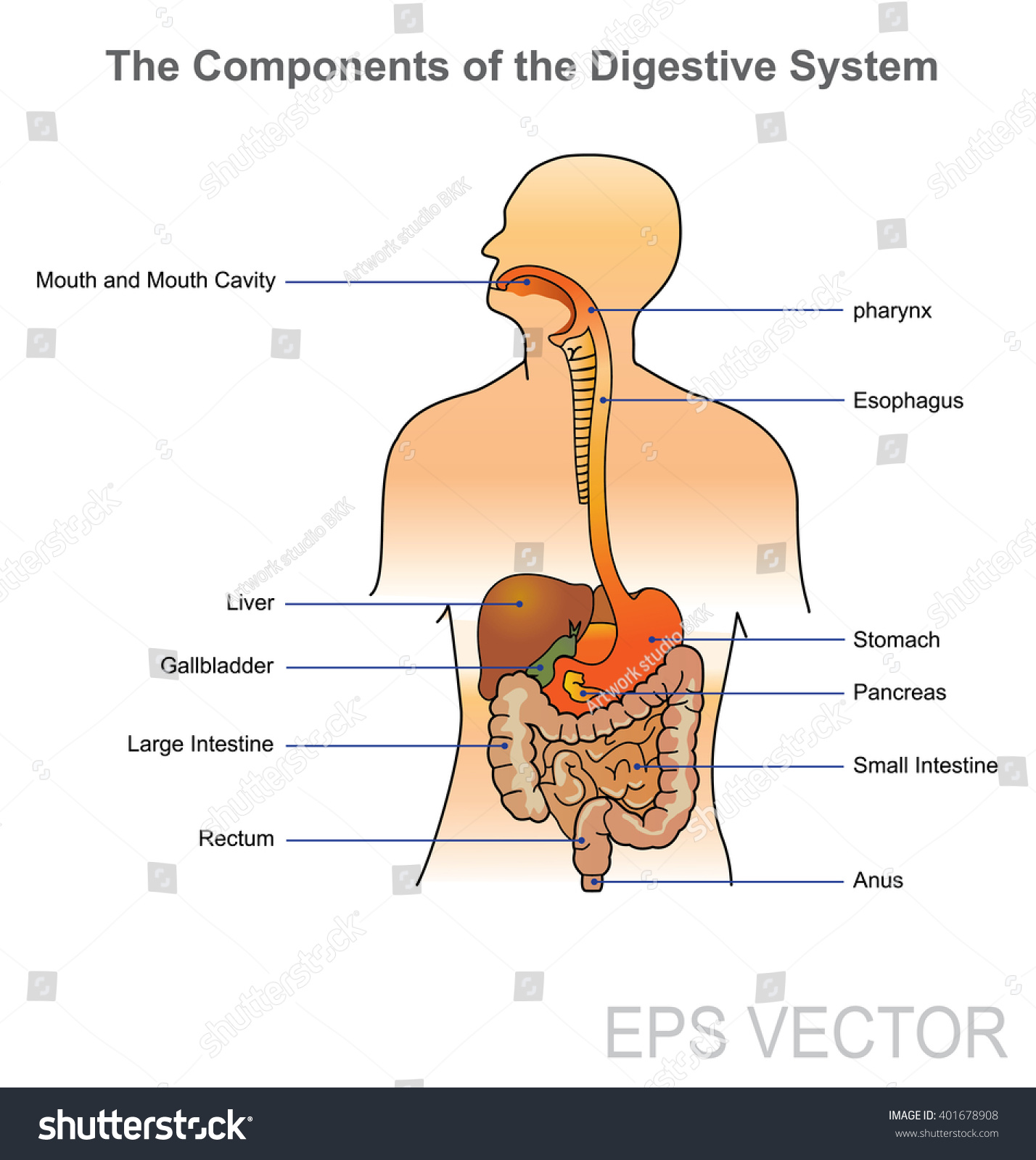 Digestive System Vector Human Digestive System Stock Vector Royalty