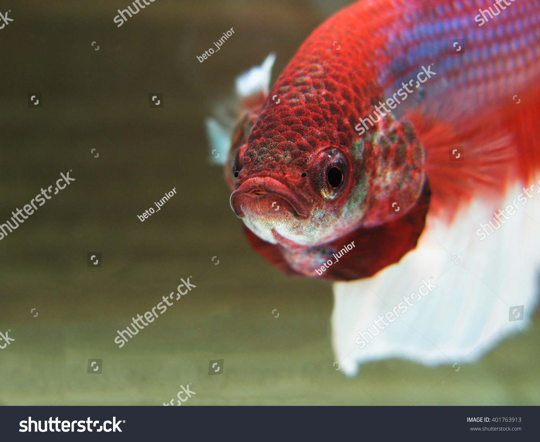 Closeup Exotic Betta Fish Flare On Stock Photo (Royalty Free ...