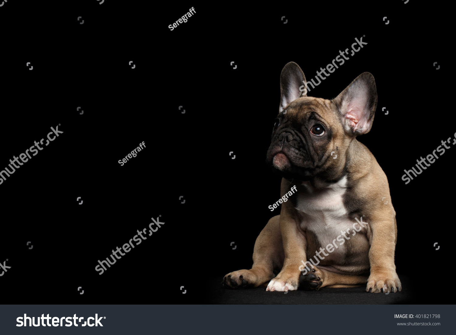 Funny French Bulldog Puppy Cute Sitting Stock Photo Edit Now 401821798