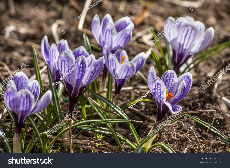 Purple crocus flowers in the grass in spring ez canvas mightylinksfo