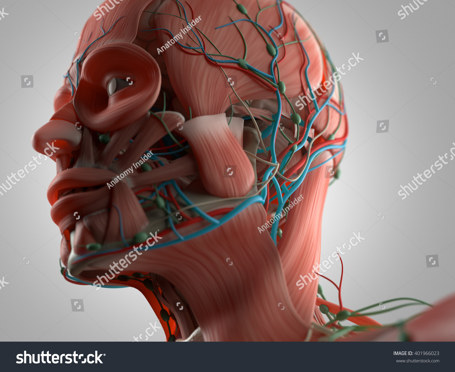Royalty Free Stock Illustration Of Anatomy Head Muscles 3 D