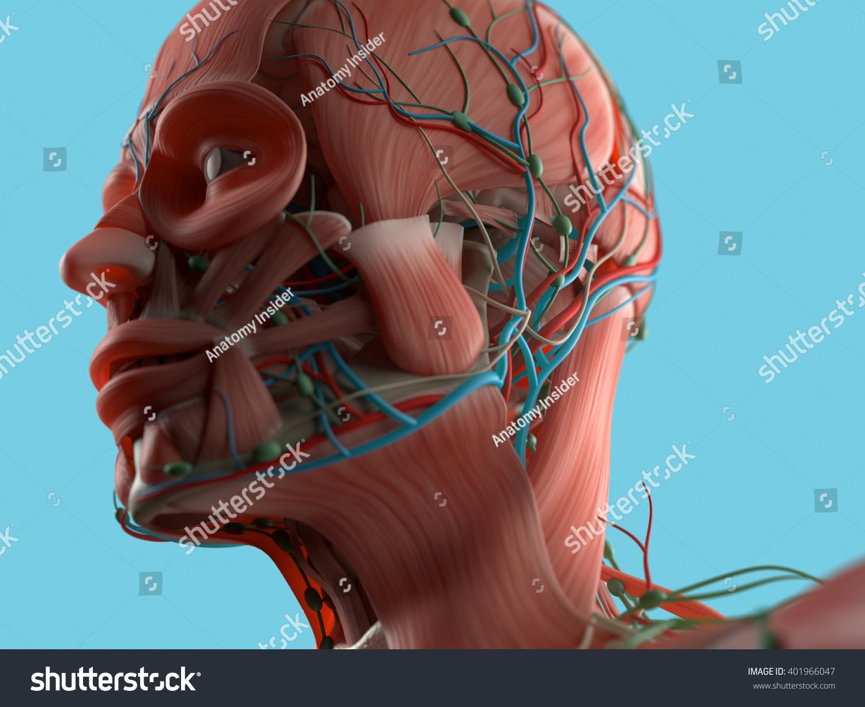 Anatomy Head Muscles 3 D Illustration Stock Illustration 401966047