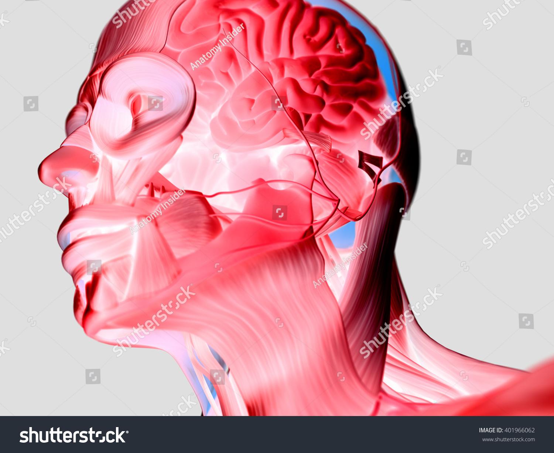 Anatomy Head Muscles Brain 3 D Illustration Stock Illustration ...