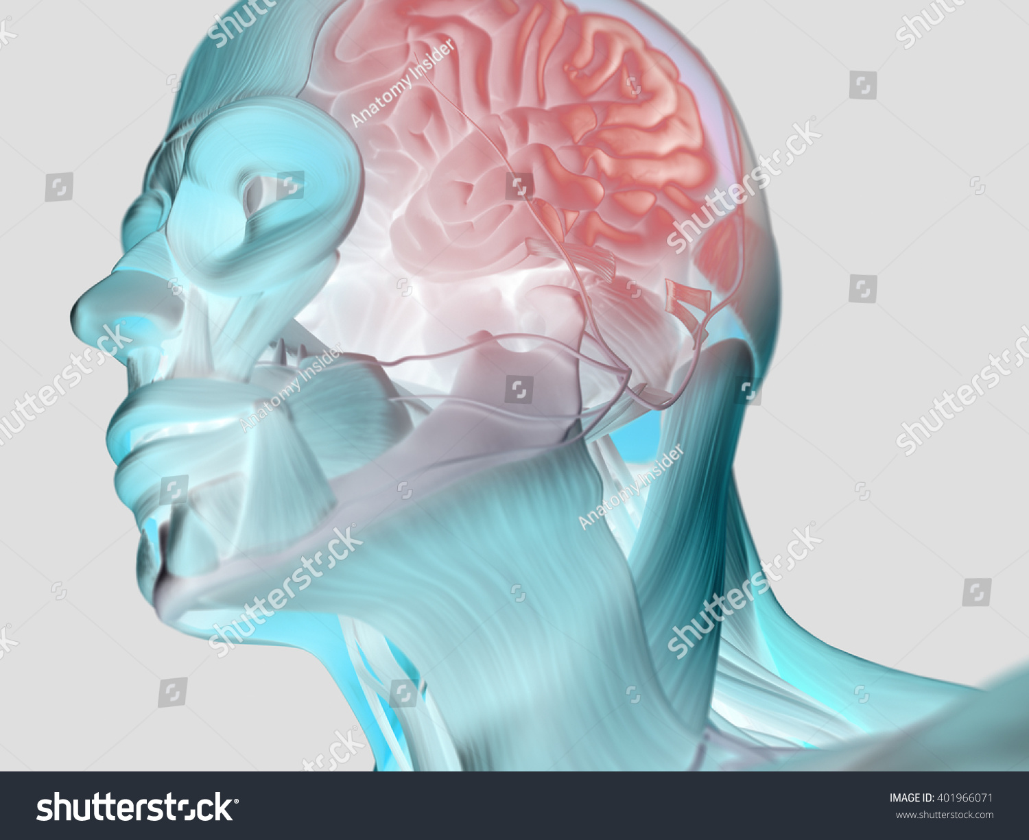Anatomy Head Muscles Brain 3 D Illustration Stock Illustration ...