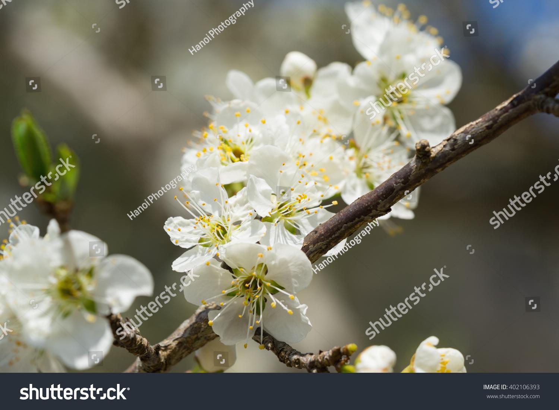 Plum flower in close up ez canvas mightylinksfo