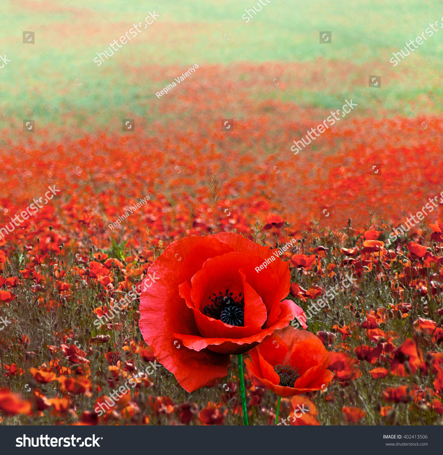 Red poppy flowers on field symbol stock photo 402413506 shutterstock red poppy flowers on the field as symbol for remembrance day red poppy flower with buycottarizona
