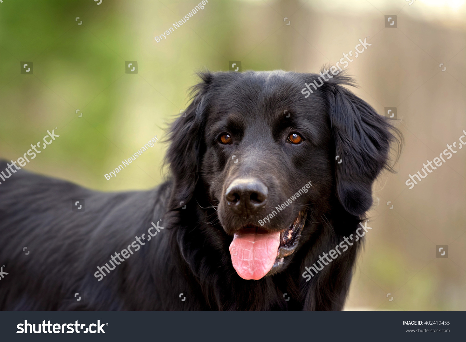 Estremamente Black Golden Retriever Newfoundland Mixedbreed Dog Stock Photo  YR57