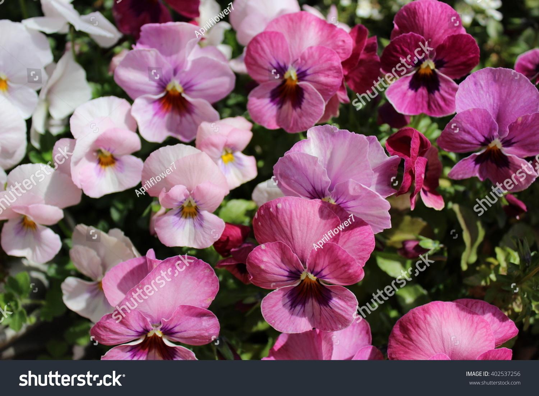 Pansy Flowers Ez Canvas
