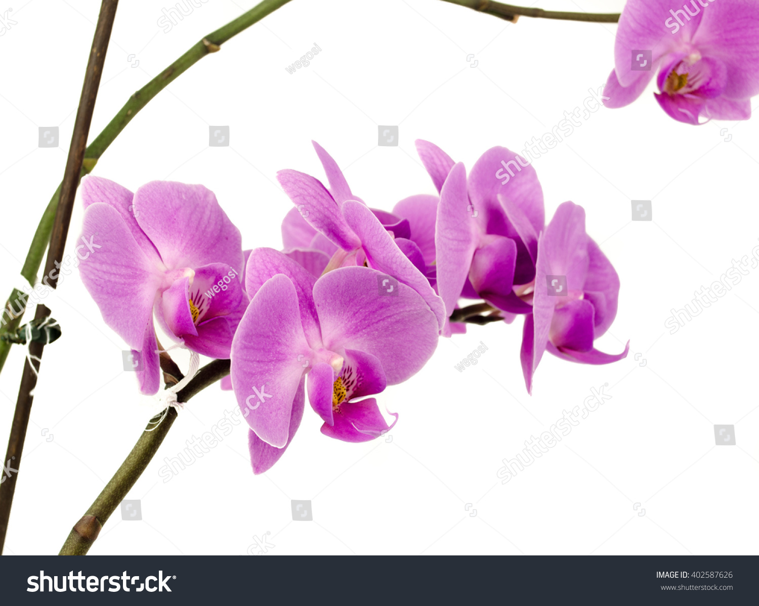 Pink Streaked Orchid Flower Isolated Streaked Orchid Flowers
