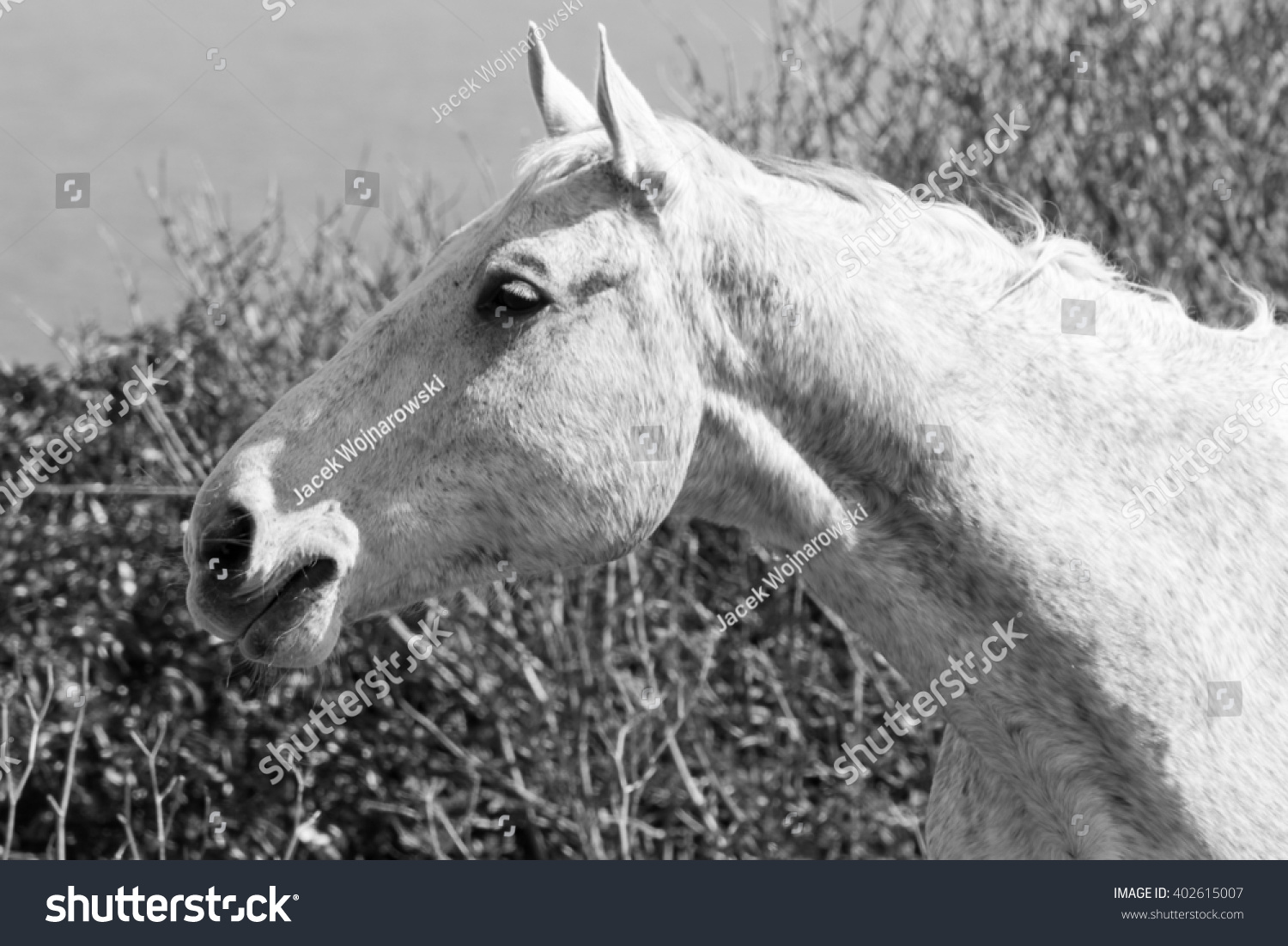 White horse head shot profile close up black and white photography