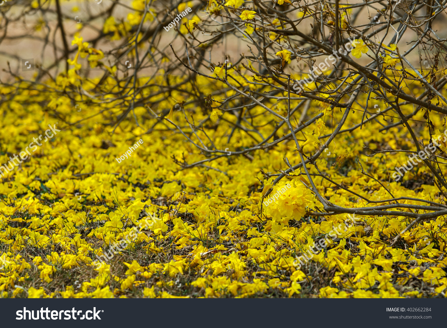 Flowers Yellow Flowers Golden Tree Yellow Pui Stock Photo Edit Now