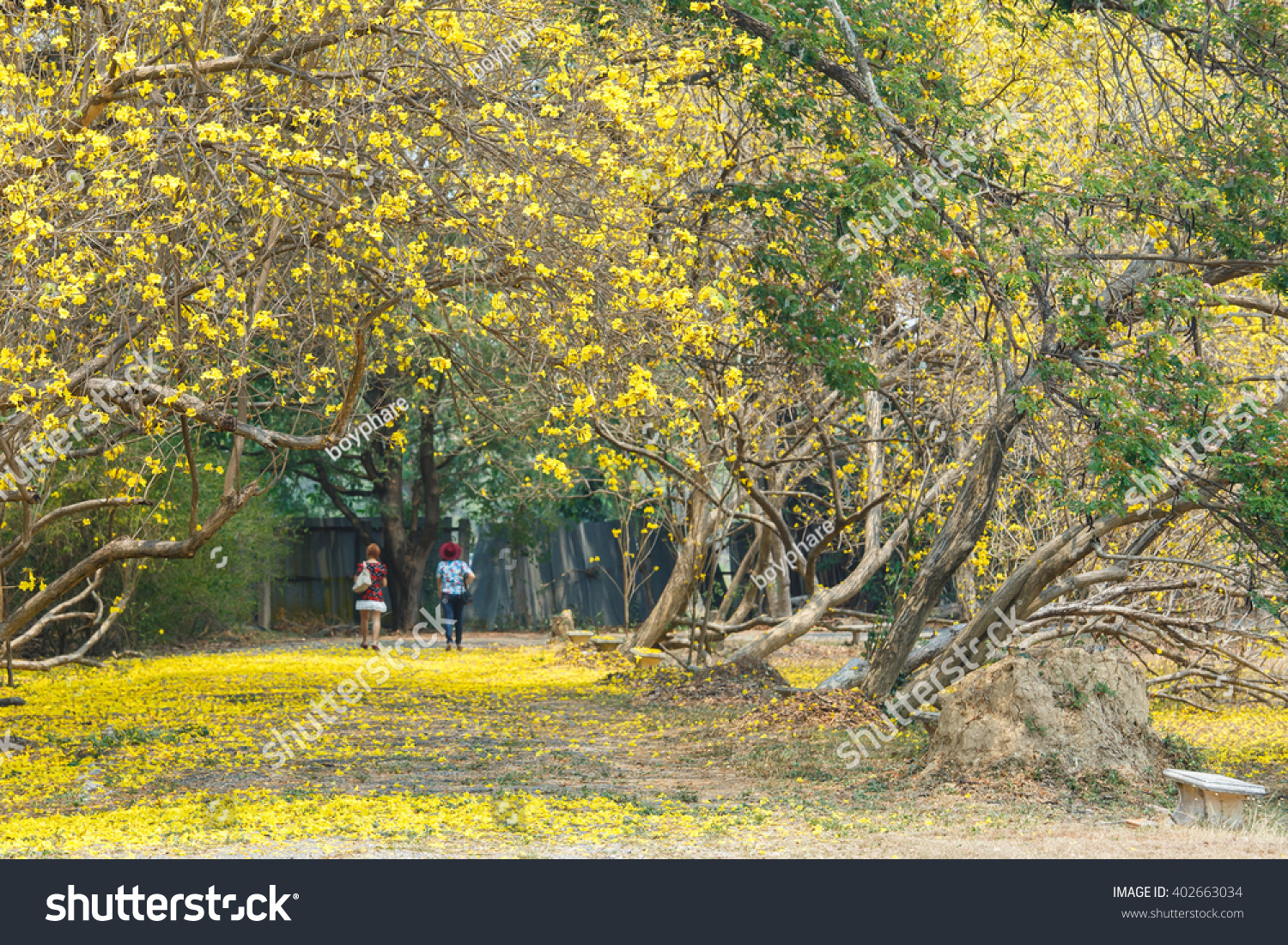 Flowers Yellow Flowers Golden Tree Yellow Pui Stock Photo Royalty