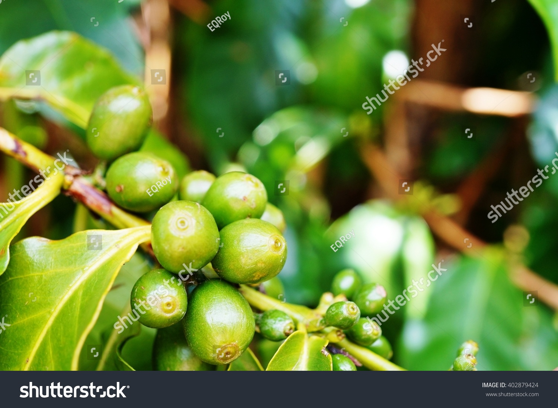 Green coffee romania pret picture 7