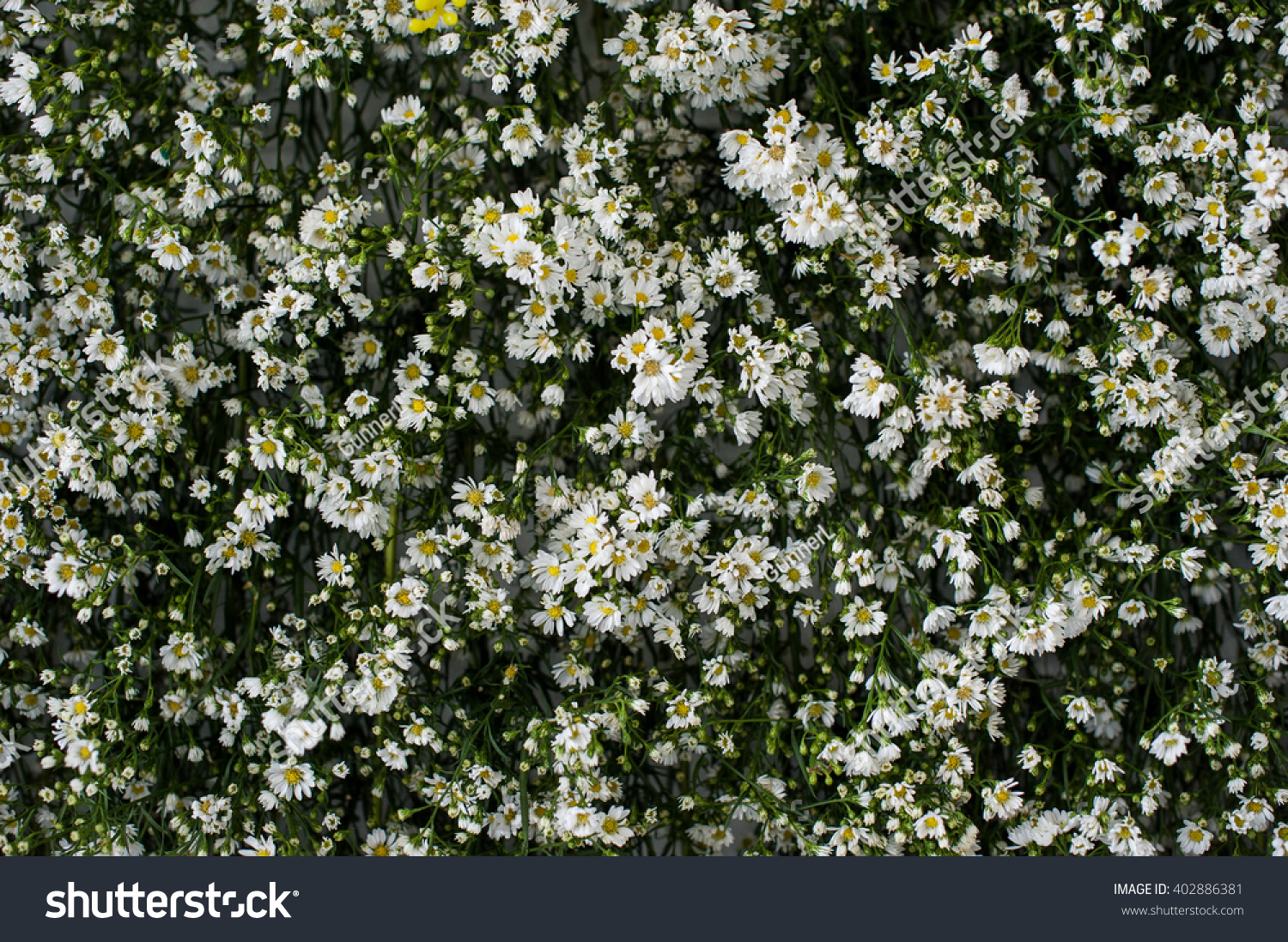 Royalty Free Small White Flowers And Green Leaves 402886381 Stock