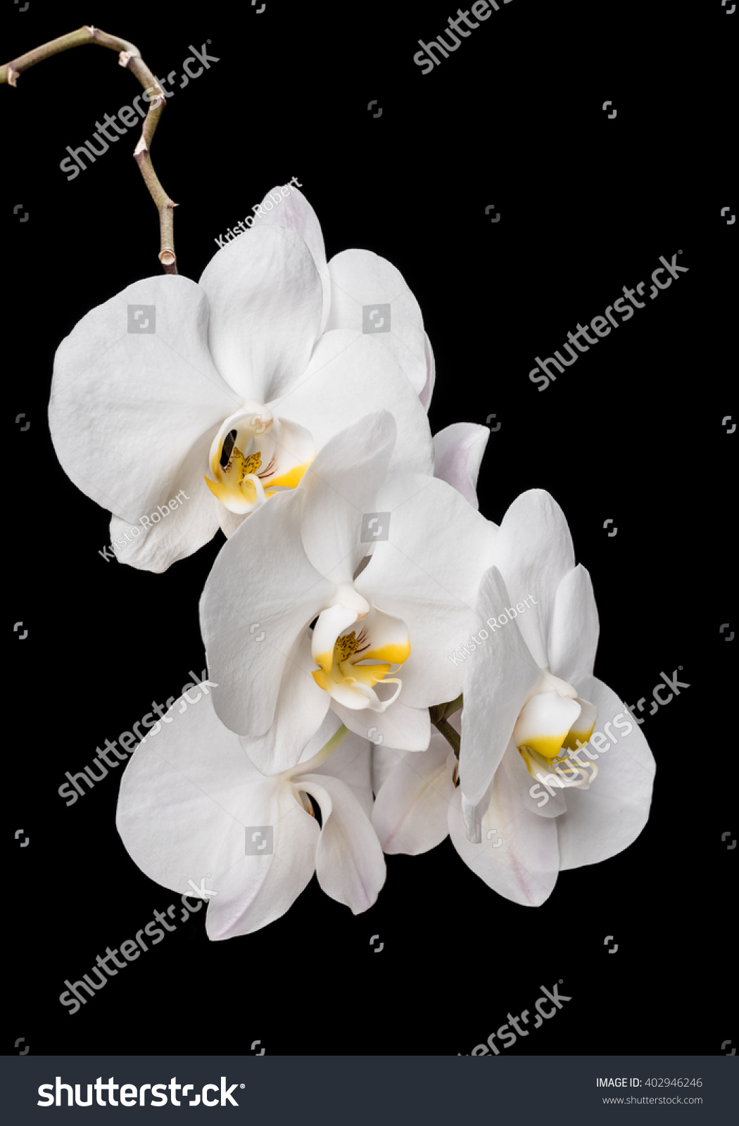 White Orchid Flowers Isolated On Black Background White Orchid