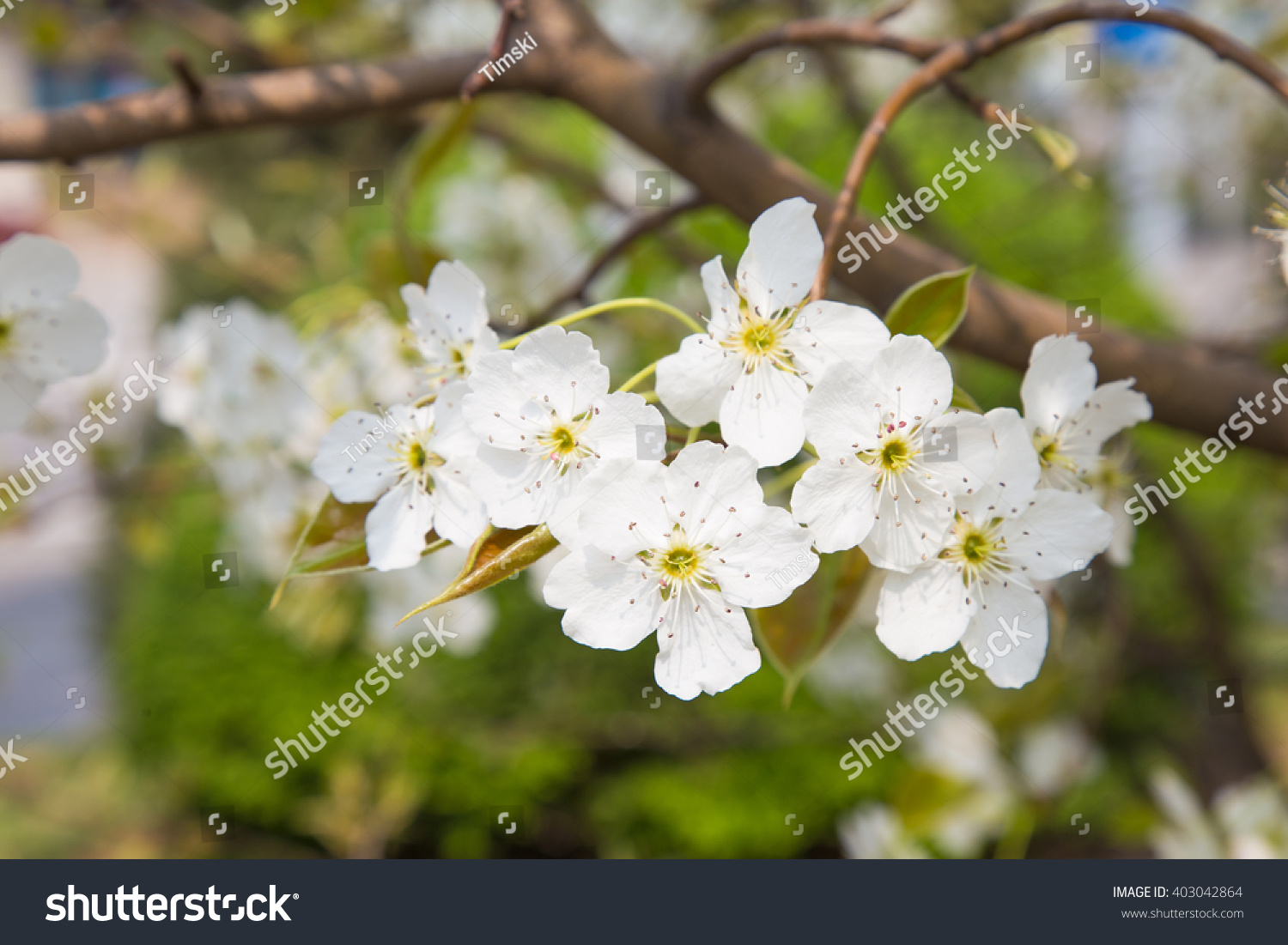 Blossom of fruit trees white flowers pear tree ez canvas id 403042864 mightylinksfo