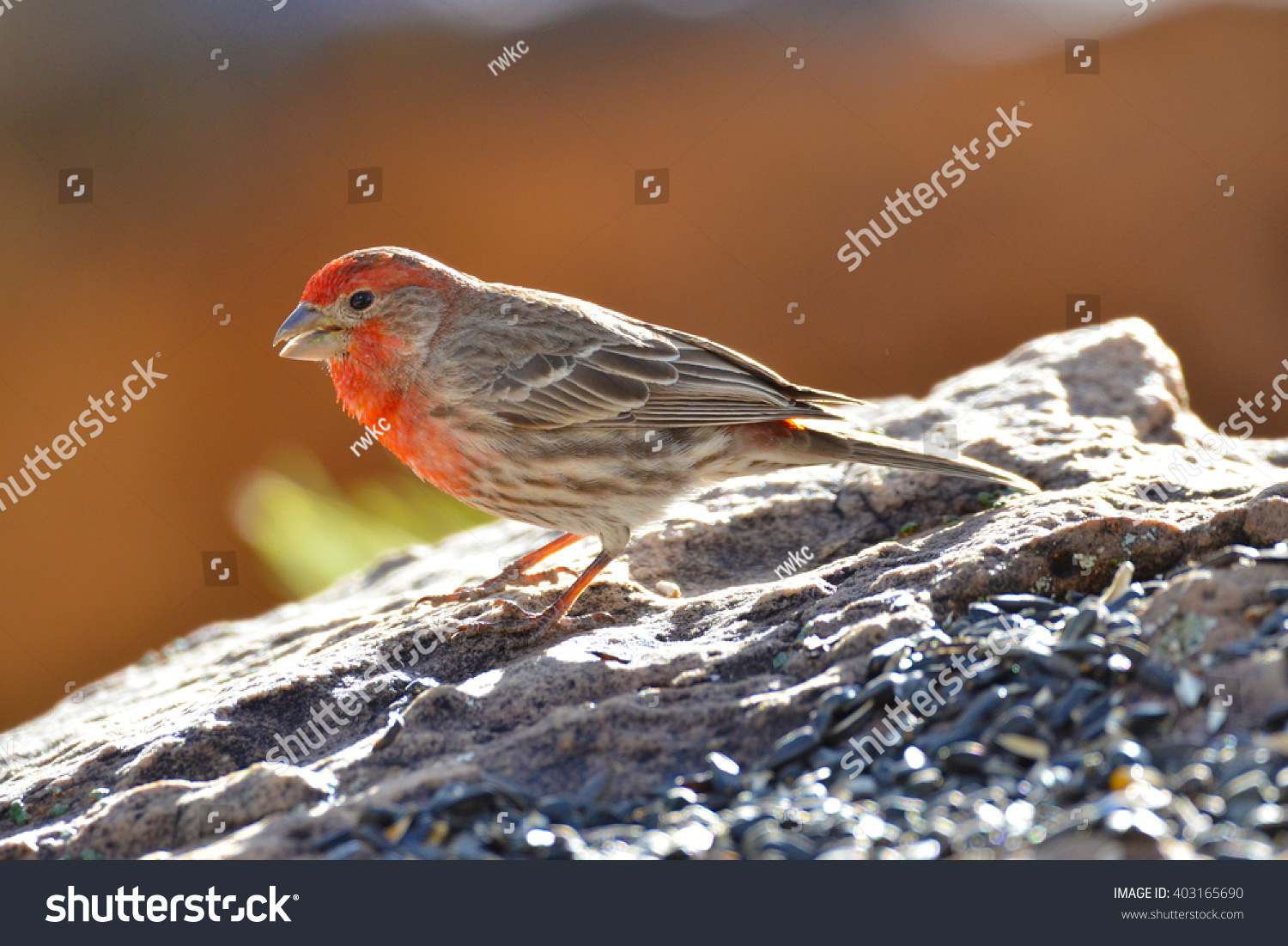 Southwest USA Beautiful Red Male House Finches Bright orange red on  forehead, throat, and breast Brown back and wings Thick brown streaking  thick grayish ...
