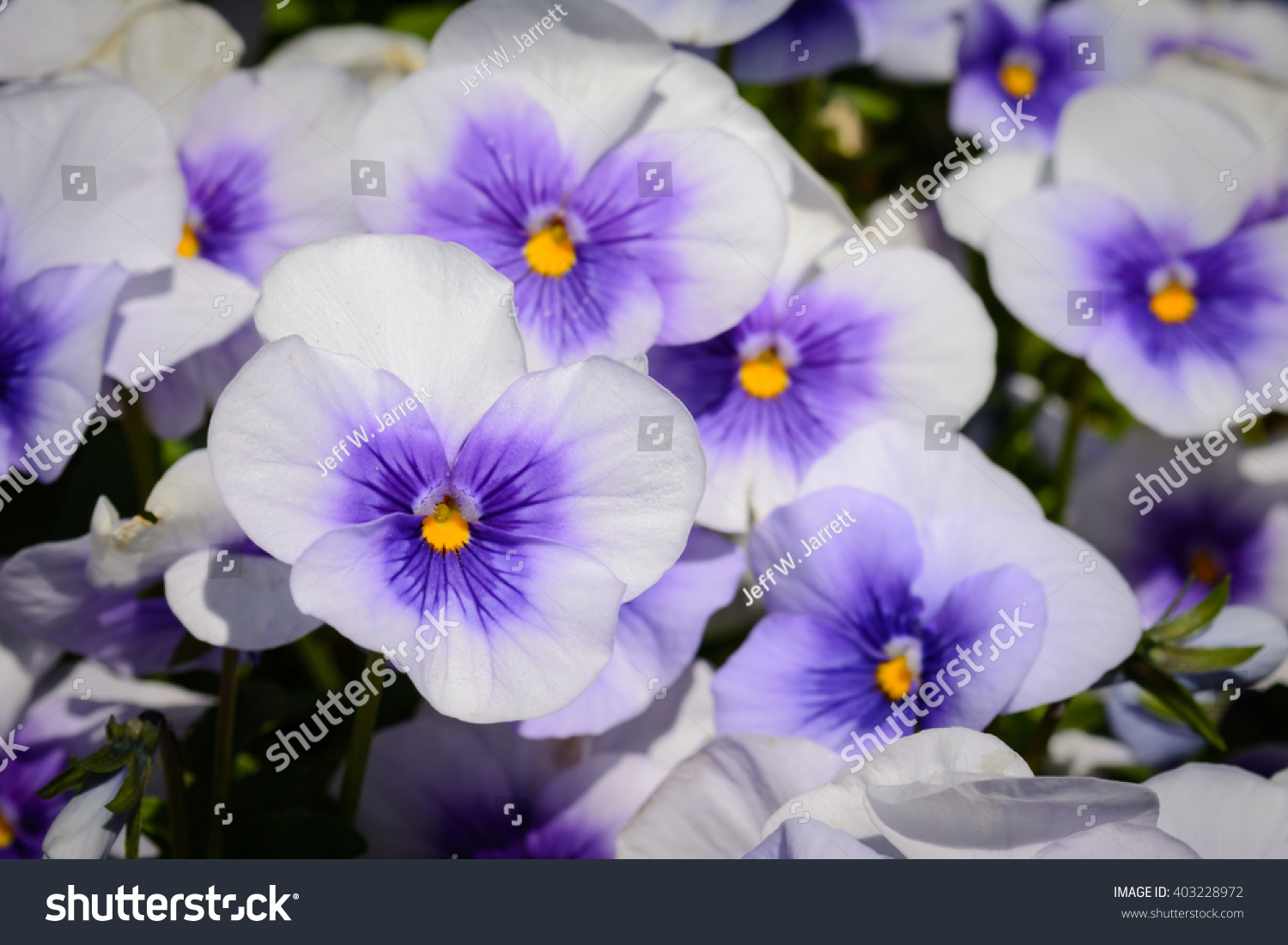 Lilac Purple And Yellow Pansies Viola Pansy Flowers Ez Canvas