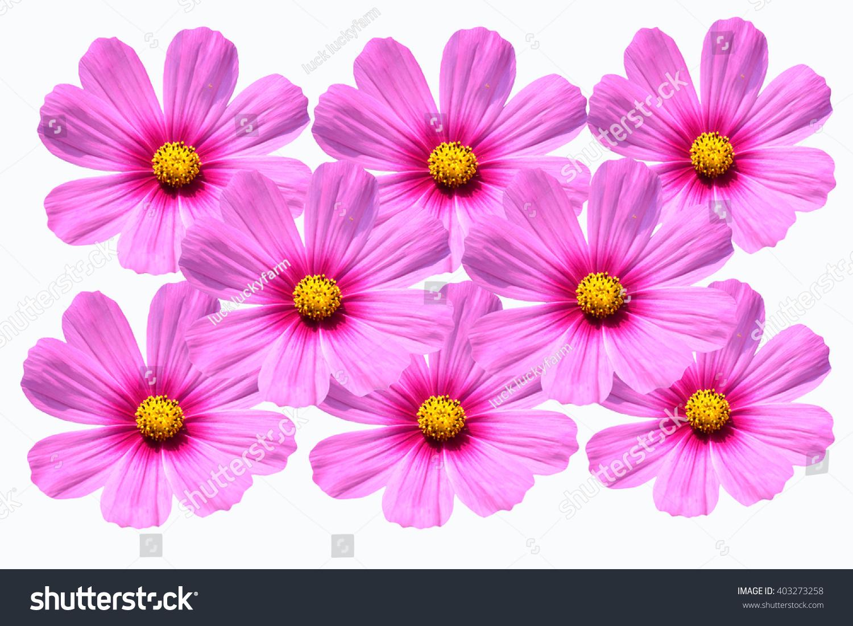 Cosmos Flower Blooming In Garden Ez Canvas