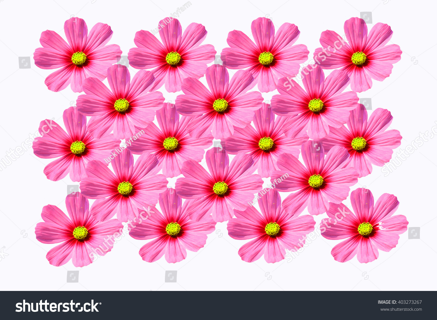 Beautiful Cosmo Flower Isolated On White Stock Photo 403273267