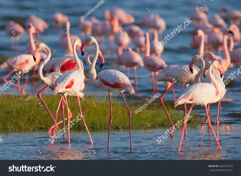 Flamingos on the lake Kenya Africa Nakuru National Park Lake Bogoria National Reserve An excellent illustration