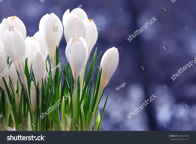Unusual Tender Spring White Flowers Stock Photo Edit Now 403334533