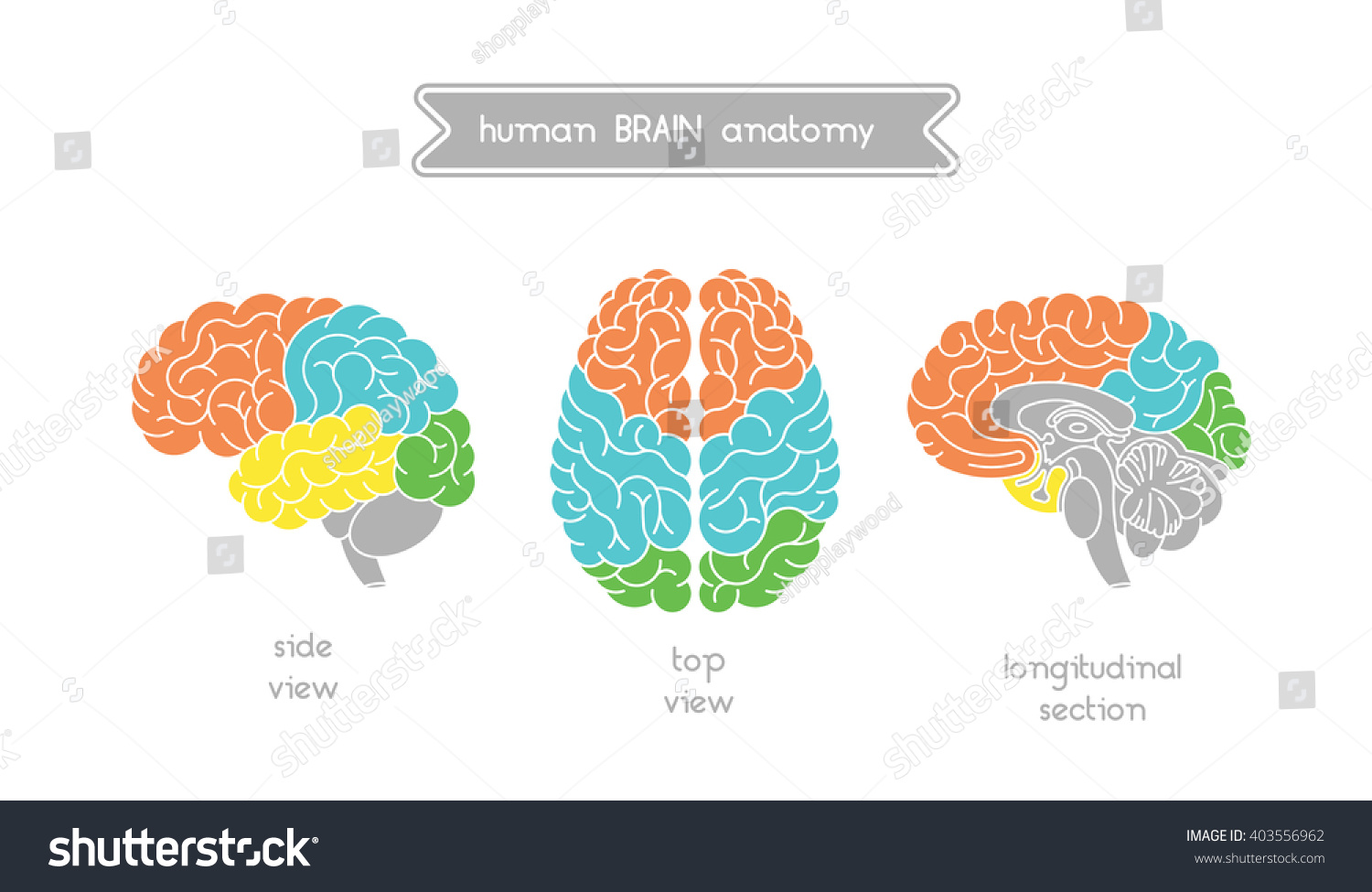 Vector human brain views brain top stock vector royalty free vector human brain views brain top view side view and section illustration of ccuart Gallery