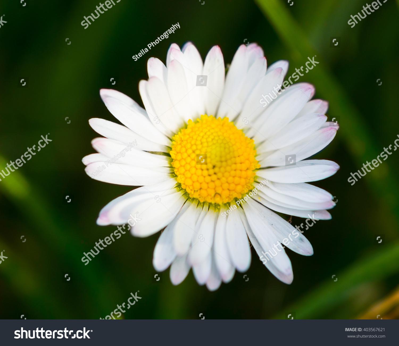 Closeup beautiful yellow white daisy flower stock photo 403567621 closeup of a beautiful yellow and white daisy flower izmirmasajfo