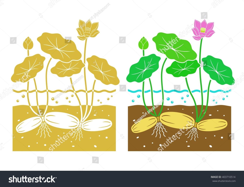 Lotus Root Leaves Lotus Flower Stock Vector Royalty Free 403710514