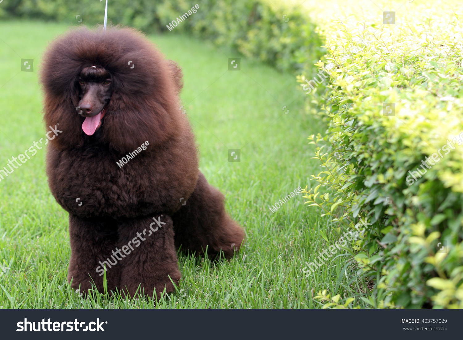 The  purebred big poodle dog portrait  in outdoors #403757029