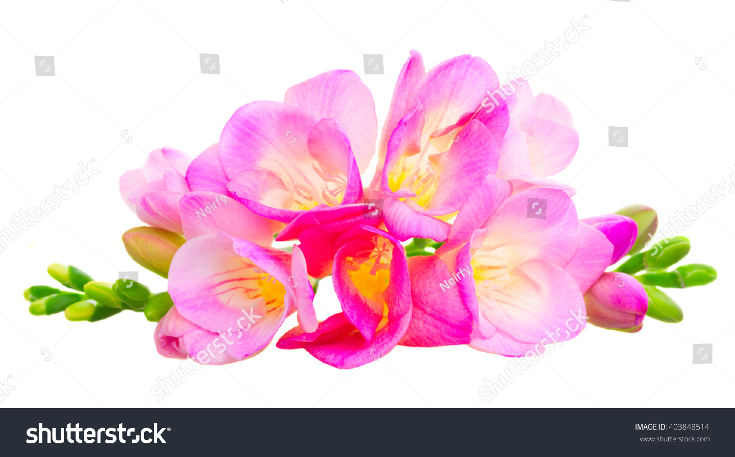 Pile fresh pink freesia flowers buds stock photo 403848514 pile of fresh pink freesia flowers with buds isolated on white background mightylinksfo