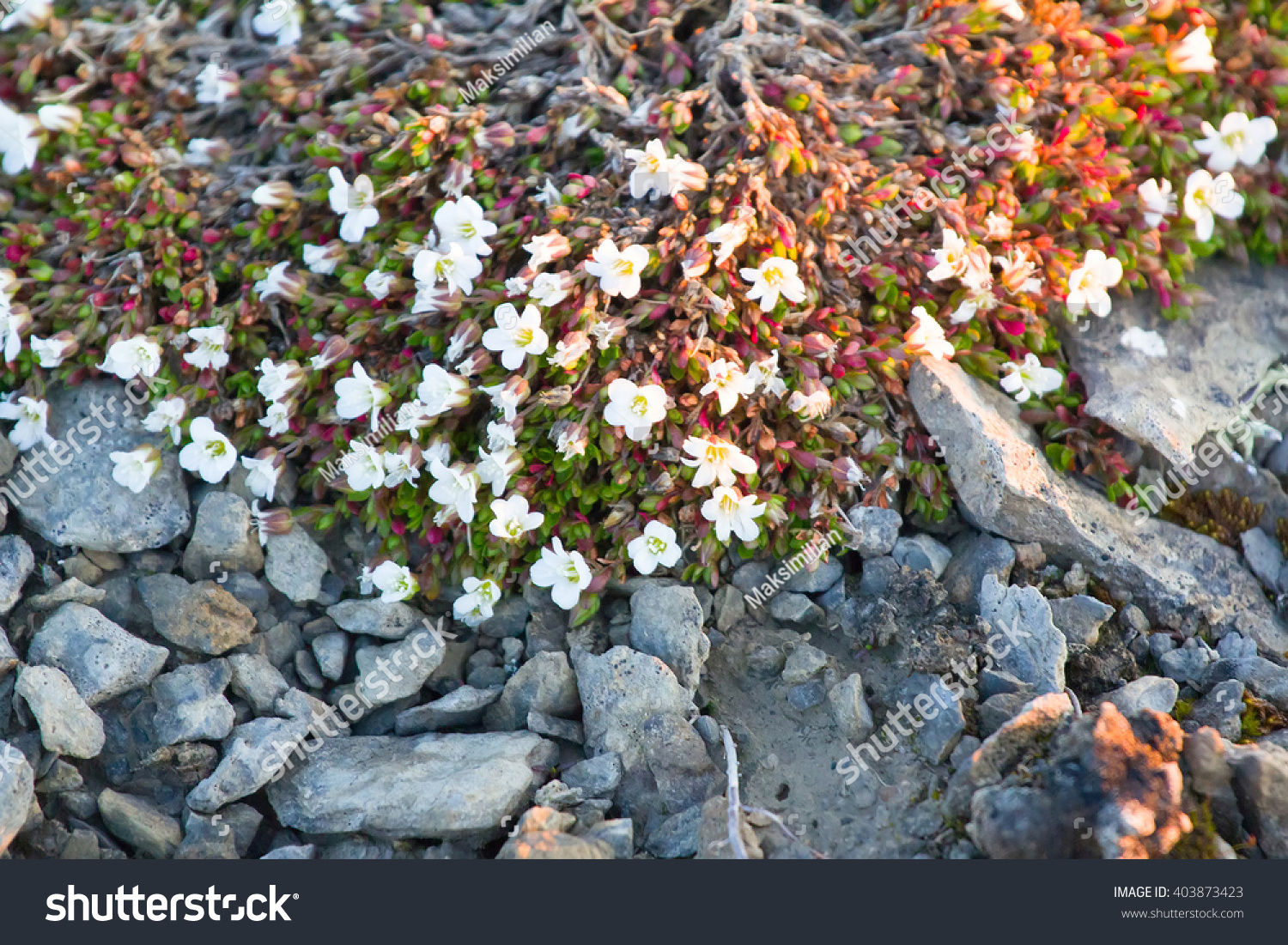 Small White Flowers Succulent Leaves Usual Stock Photo Edit Now