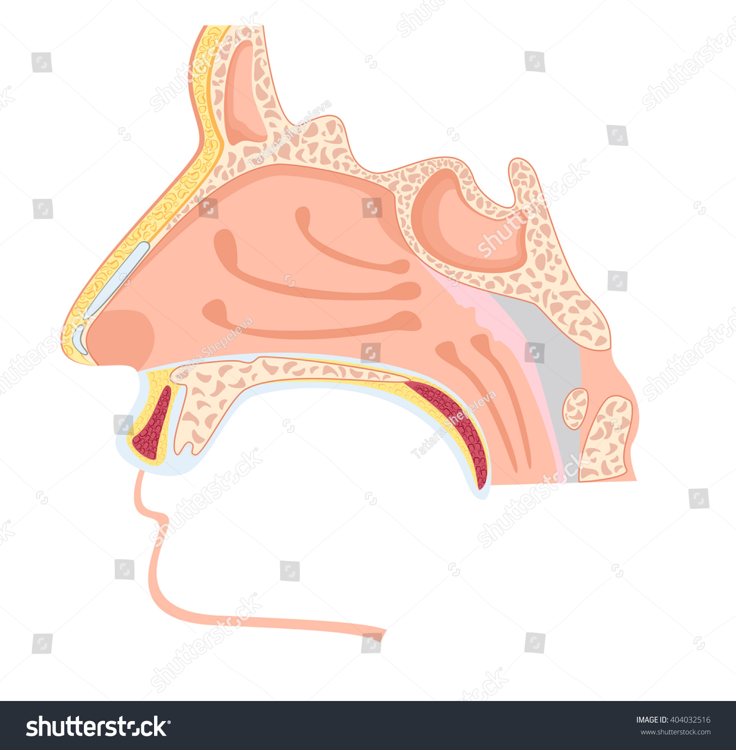 Nasal Cavity Vector Illustration Human Nose Stock Vector 404032516