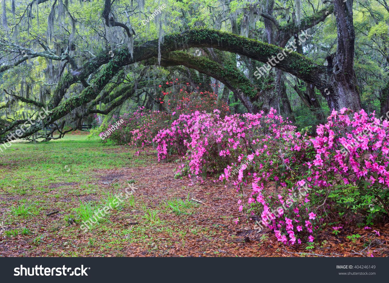 South Carolina Spring Landscape Live Oak Stock Photo Edit Now
