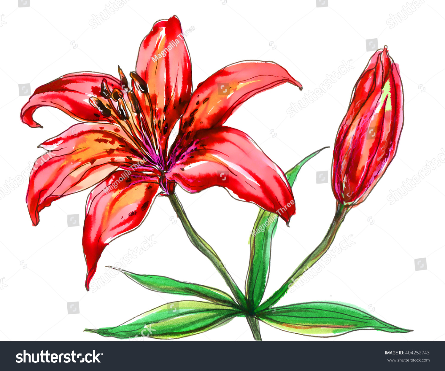 Red tiger lily flower blossom hand stock illustration 404252743 red tiger lily flower blossom hand drawn watercolor tropical flowers isolated on white background izmirmasajfo