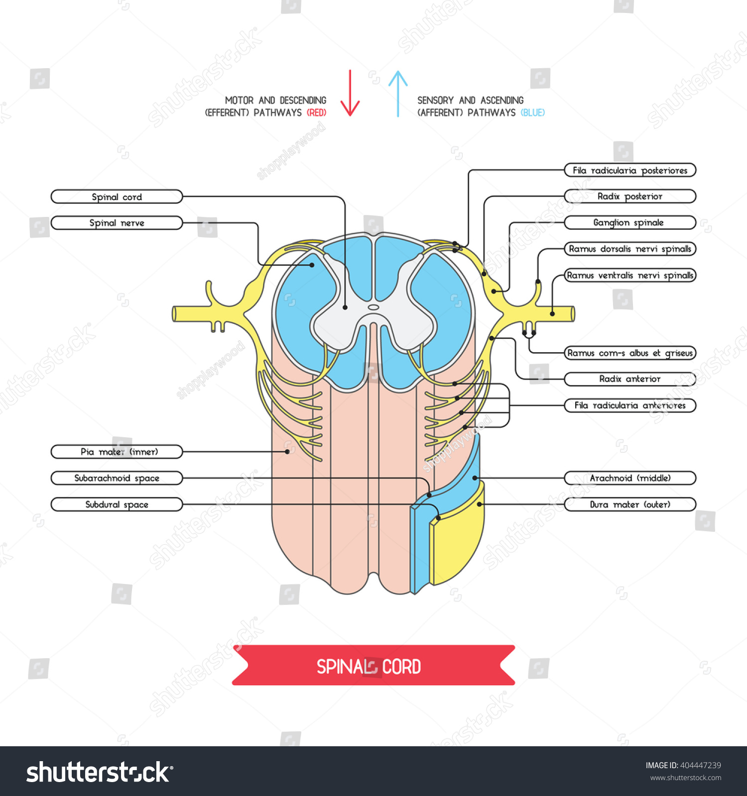Cross section spinal cord central nervous stock vector 404447239 cross section of spinal cord central nervous system vector spinal cord spinal reflex pooptronica